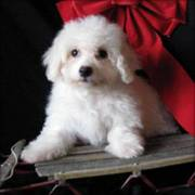 Cute Bichon Frise Puppies Now Available