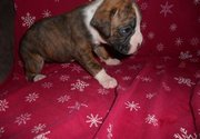 she is a flashy brindle they come from great blood lines boxer puppies