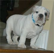 an outstanding good and neat english bulldog ready for rehoming