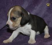 VERY CUTE Beagle puppies for sale