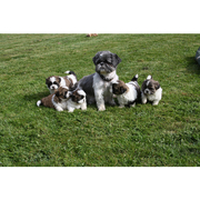 4 Adorable Shih Tzu Puppies