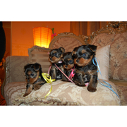 Nice kc Yorkshire Terrier Puppies for Sale