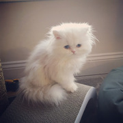Persian kittens for sale,  Persian Cat for sale,  Persian kittens