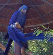 Talking Male and Female Hyacinth Macaw Parrot For Adoption