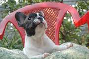 Beautiful puppies of Frenches