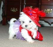 Cute and lovely  Maltese puppies for sale